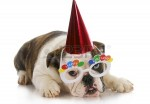 12121001-birthday-puppy--english-bulldog-wearing-party-hat-and-silly-glasses-on-white-background