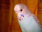 young-budgie-956004-m